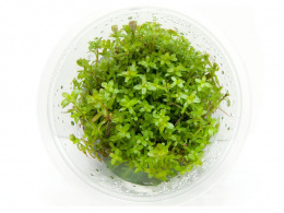 Rotala COLORATA kubek 10cm in vitro